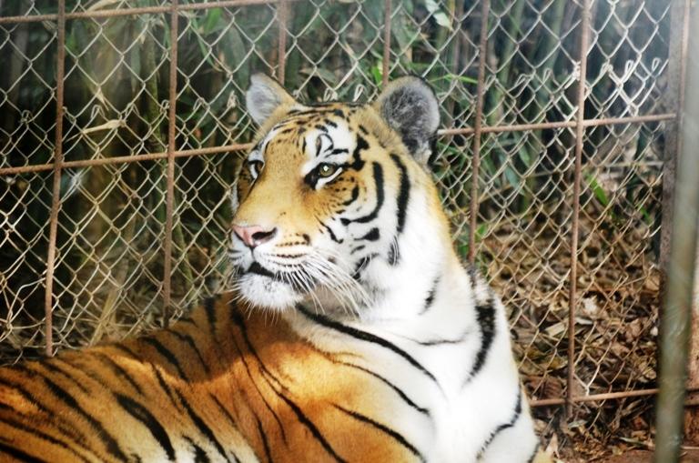 Zoo Natura Parc Mallorca Tiger